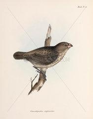 Vegetarian Finch  Galapagos Islands  c 1832-1836.