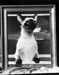 Siamese cat  July 1976.