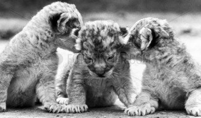 Lion cubs  Windsor Safari Park  May 1988.