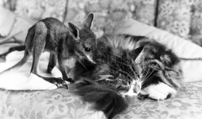 Wallaby and cat  April 1978.