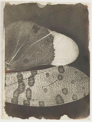 Insect wings  c 1840.