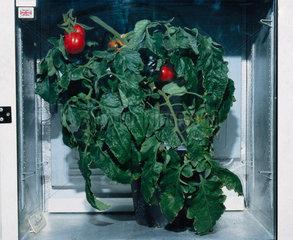 Genetically modified tomato plant  1998.