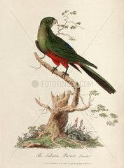 'The Tabuan Parrot'  1789.