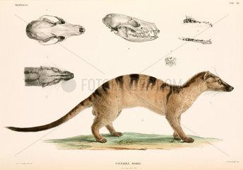 Banded palm civet  Indonesia  1839-1844.