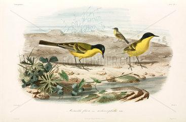 Black-headed yellow wagtails  Black Sea area  1837.
