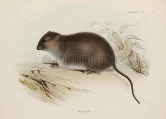 Bush or brown-footed rat  Australia  c 1832-1836.