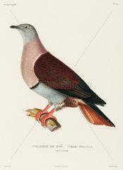 Zoe's dove  New Guinea  1822-1825.