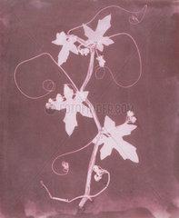 'Byronia dioca - The English Wild Vine'  c 1839.