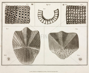 Magnified caterpillar eggs  1787.