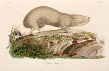 Blind mole-rat  Black Sea area  1837.