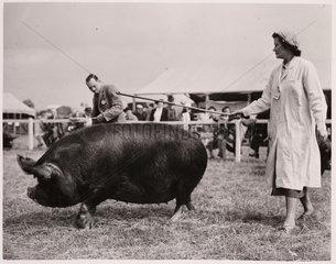 A Berkshire pig  10 July 1951.