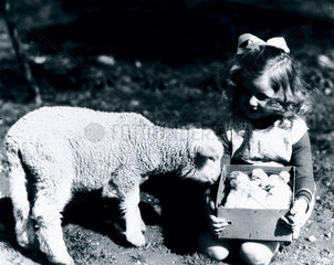 Small girl holding a box of chicks next to a lamb  c 1930s.