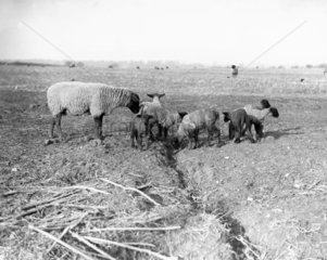 Sheep and lambs in a field at Kersey in Suffolk  29 January 1934.