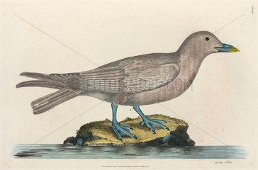 Sea bird  1776.