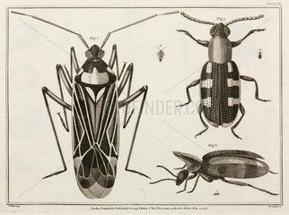 Magnified beetles  1787.