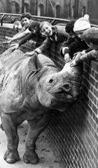 Black rhino  London Zoo  November 1969.