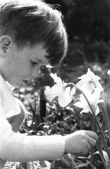 Young boy picking a daffodil  c 1930s.