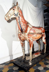Anatomical model of a horse  c 1850-1880.