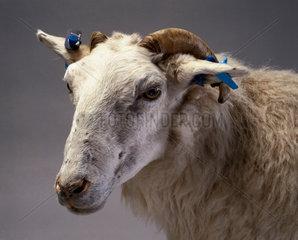 Tracy  a transgenic sheep  1999.