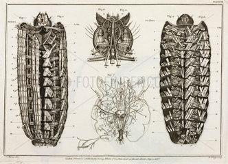 Magnified caterpillar  1787.
