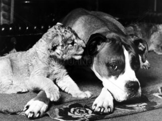 Lion cub and boxer dog  January 1986.