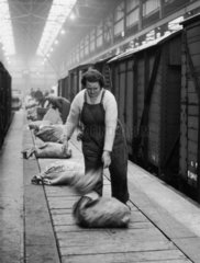 Female worker unloading a sack onto a conveyer belt  c 1950s?
