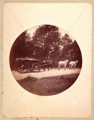 Three horses pulling a wagon  1888.