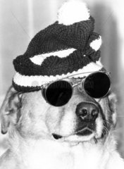 Dog wearing a woolly hat and dark glasses  October 1979.