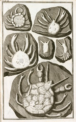 Fake fossil crabs  1745.