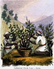 'Gathering Stick Lac - Asia'  c 1845.
