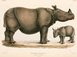 Adult and young rhinoceros  Indonesia  1839-1844.