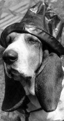 Dog wearing a sou'wester  June 1965.