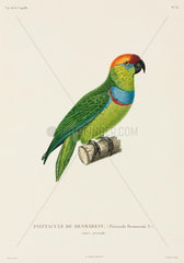 Desmarest's fig parrot  New Guinea  1822-1825.