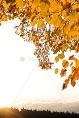 Zweig mit goldenen Herbstblaettern