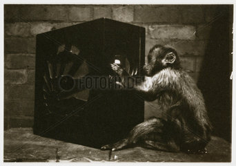 Monkey playing with a radio  c 1935.