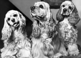 American cocker spaniels  March 1969.