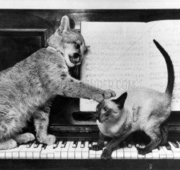 Puma cub and Siamese cat  December 1972.