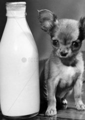 Chihuahua puppy with pint of milk  1968.