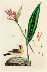 False Bird of Paradise flower and wagtail  1776.