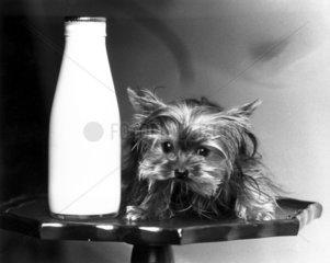 Toy Yorkshire terrier  June 1985.