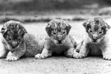 Lion cubs  Windsor Safari Park  May 1988.