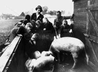 Young evacuees visiting the pigs at a farm