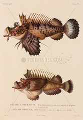 Spiny devilfish  New Ireland and Mauritius  1822-1825.