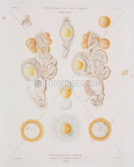 Chicken egg in the oviduct  c 1847-1859.