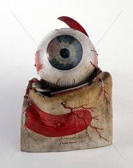 Model of human eye  French  c 1870.