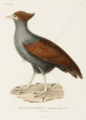 Duperrey's megapode  New Guinea  1822-1825.