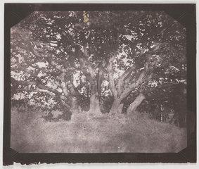'Oak Tree'  Carclew Park  Cornwall  August 1841.
