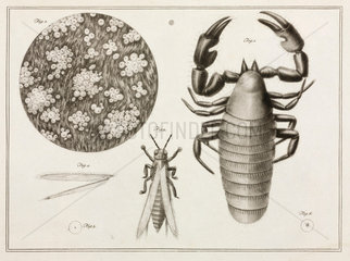 Magnified insects and lumpfish skin  1787.