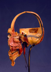 Prepared anatomical skull  1870-1900.