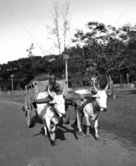Two oxen pulling a cart  India  c 1910s.